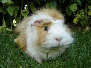 Guinea_pig